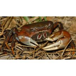 Crabe poilu