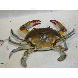 Crabe de mer